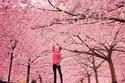 الأشجار الوردية تزين أحد شوارع العاصمة الدنماركية كوبنهاجن