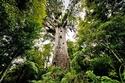 أشجار الكوري العملاقة في غابة وايبوا