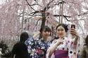 بالصور الرائعة..موسم زهر الكرز اليابان 2