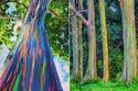 اشجار الأوكالبتوس غرائب وعجائب العالم لم تكن لديك فكرة عن وجودها