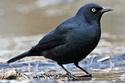 طائر أسود