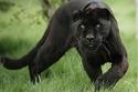 حيوانات ذات لون أسود من حول العالم!