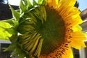 زهرة عباد شمس نصف متفتحة