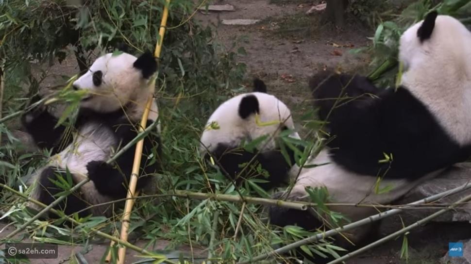 """الباندا """"يانج يانج"""" رسام من الطراز الأول!"""