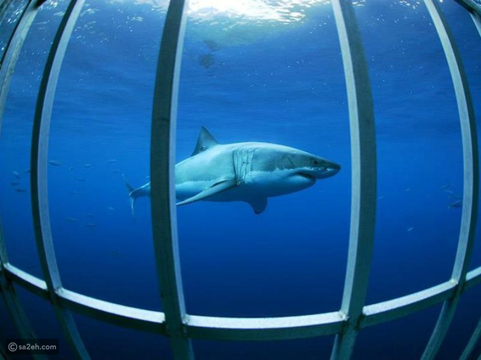 السباحة مع أسماك القرش في جزيرة غوادالوبي