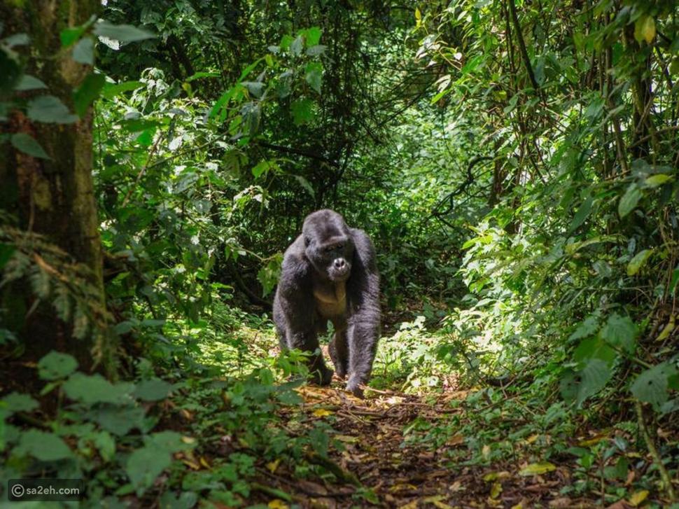 البحث عن الغوريلا في جبال أوغندا