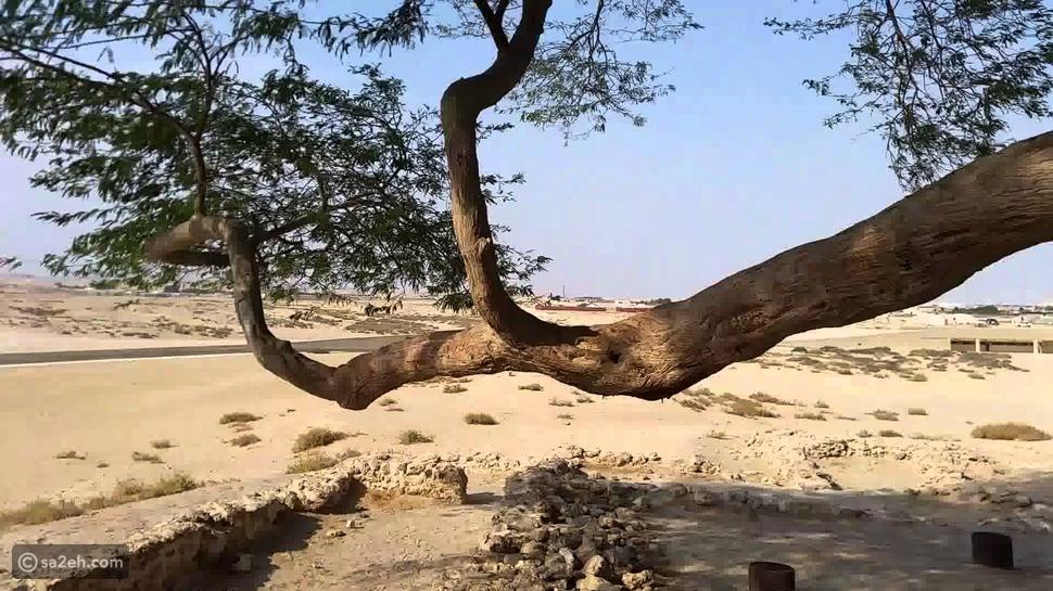 في البحرين .. منذ اكثر من 400 عام .. شجرة عملاقة تعيش بلا ماء .. ؟