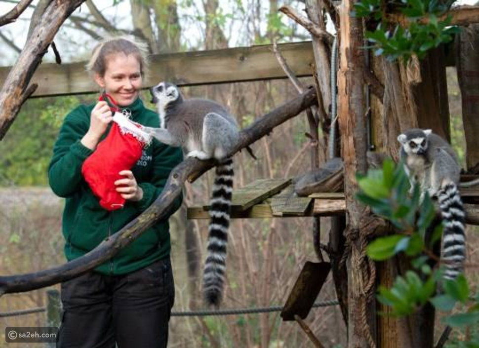 الليمور كان سعيداً بهديته: هكذا احتفلت حديقة حيوان لندن بعيد الميلاد