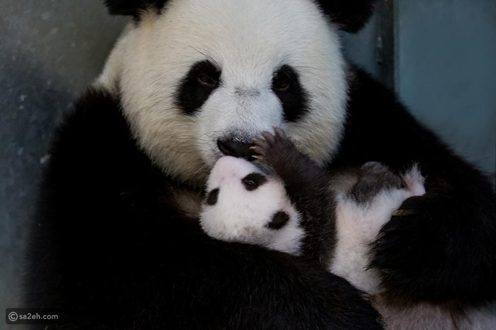 حديقة حيوان برلين تتيح لزوارها مشاهدة توأم الباندا العملاقة لأول مرة