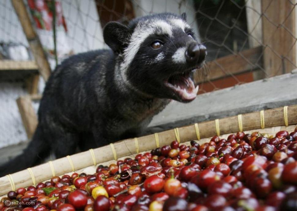 تستخرج من فضلات هذا الحيوان: ماذا تعرف عن أغلى قهوة في العالم؟