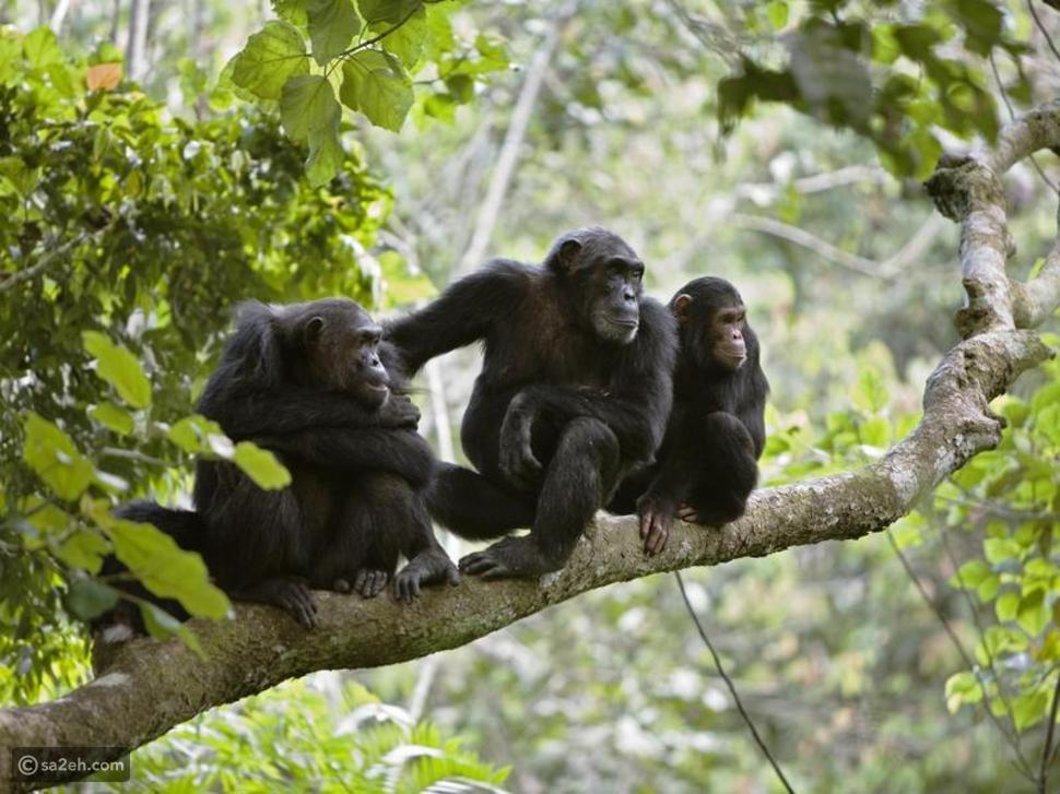 شيمبانزي قرد