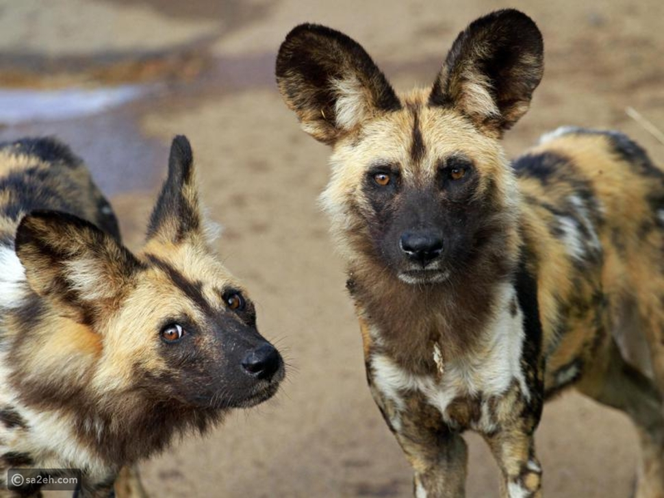 كلب وايلد الافريقي