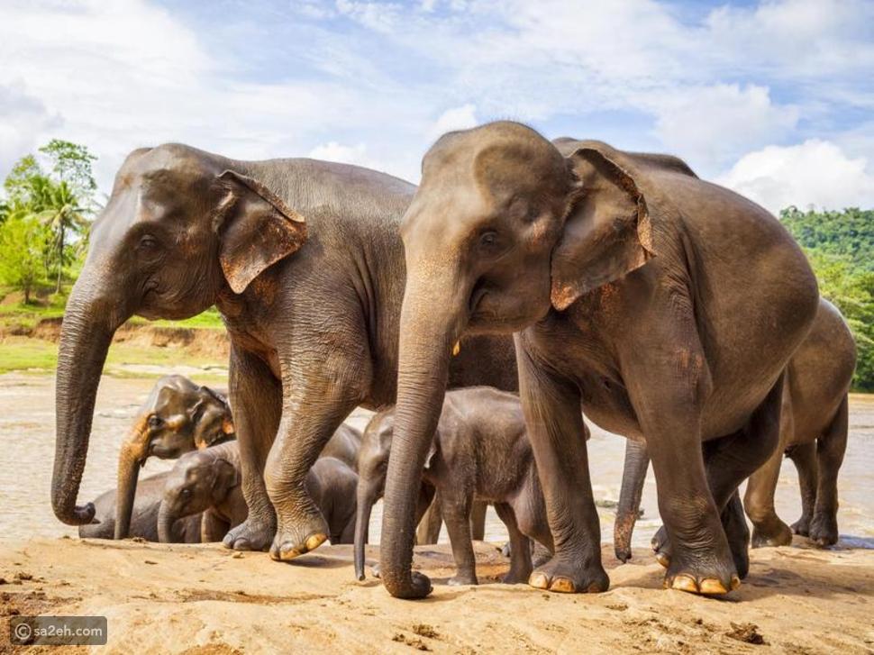 فيل  سري لانكا