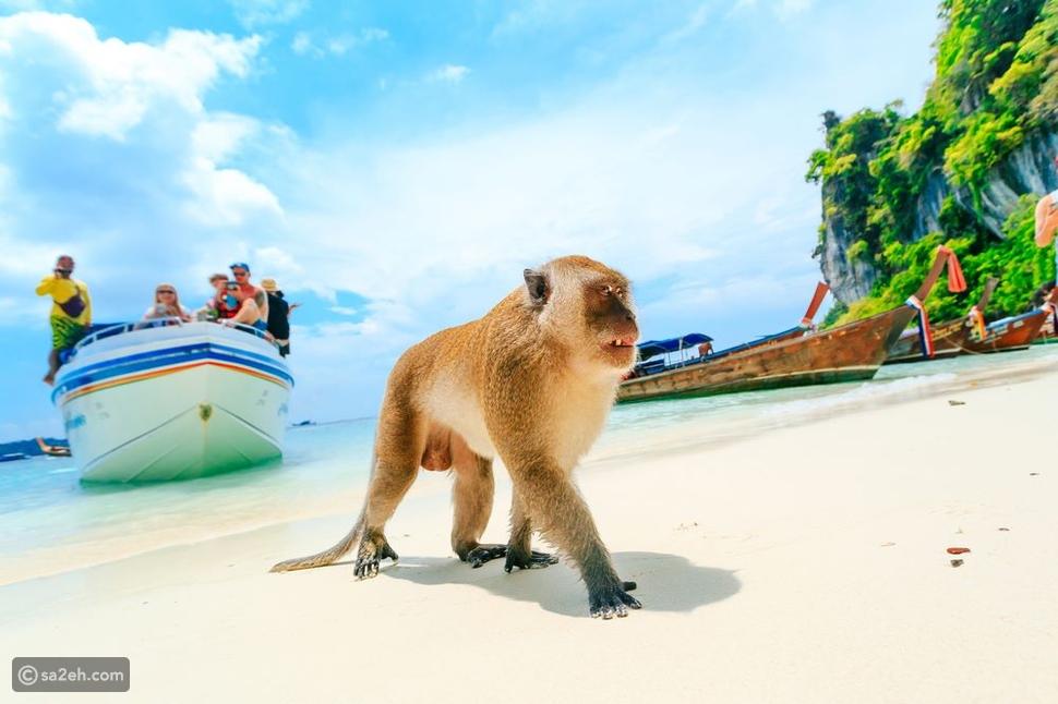 لعشاق اللعب مع الحيوانات جزيرة بوكيت التايلاندية تستقبل السياح