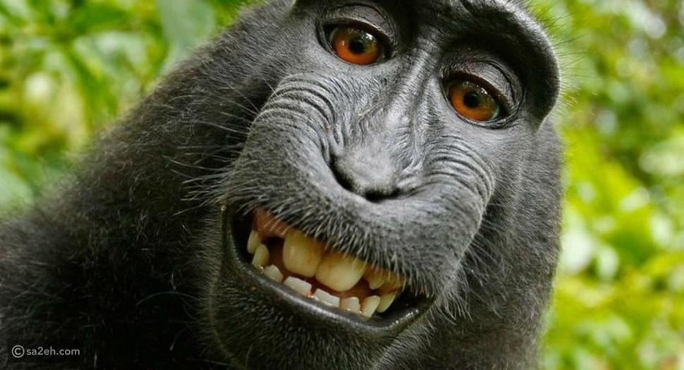 """بالفيديو.. صورة """"السائح والقرد"""" تشعل المواقع وتصل للمحاكم الأمريكية"""
