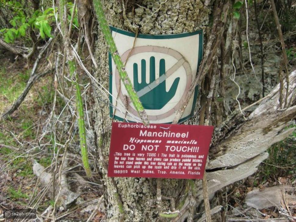 تفاحة الموت الصغير: شاهد أخطر شجرة في العالم